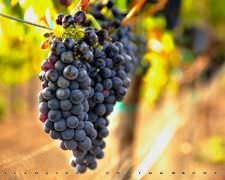 Shiraz grapes used for Shiraz wine