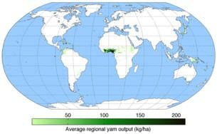 Most yams are grown in West Africa.