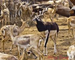 Antelope Vs Deer Difference And Comparison Diffen