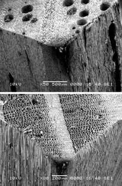 Images showing the presence of pores in hardwoods (Oak, top) and absence of such pores in softwoods (Pine, bottom)