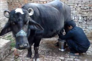 A man milking a buffalo. Screen capture from this video.