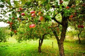 Apple tree, a flowering, fruit-bearing angiosperm