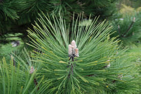 Pine tree, a gymnosperm with needle-like leaves and a cone