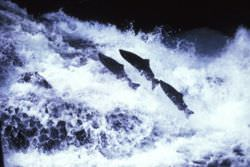 Salmon swimming upstream in natural waters